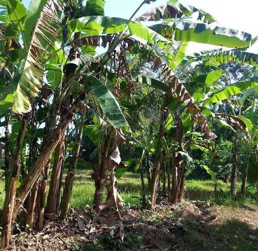 RICE FIELDS VIEW LAND FOR SALE 32 ARE IN PANTAI NYANYI