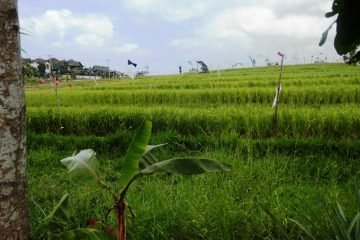 Great Offer ! – Amazing 20 or 30 Year Leasehold Land with Majestic Rice Field Views